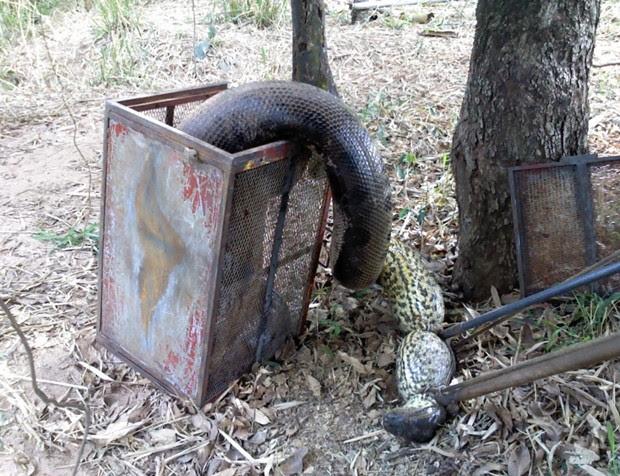 Cobra assustou por tamanho gigantesco (Foto: Divulgação / Corpo de Bombeiros)
