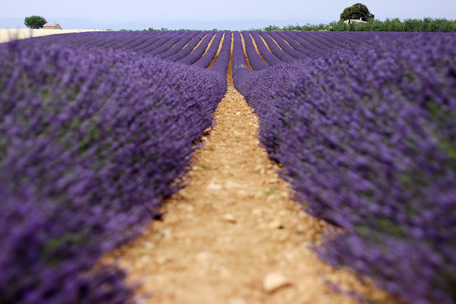 Looking down a lavender row in a field in Provence, France