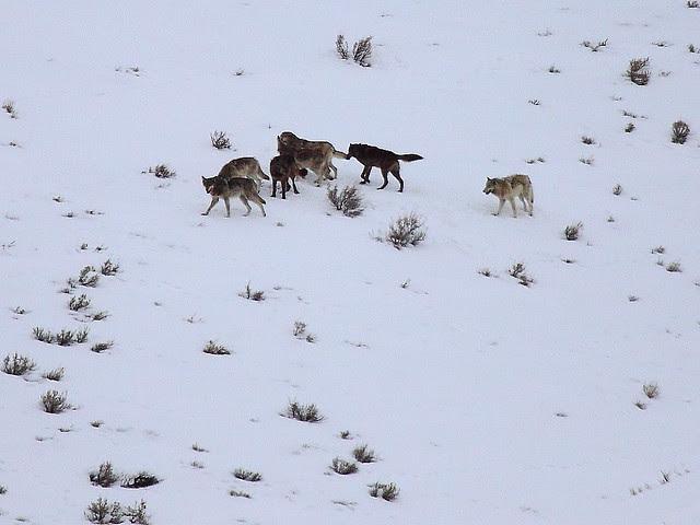 IMG_1094 Lamar Canyon Pack, Yellowstone National Park