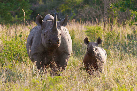 Make or Break Year Ahead for South Africa's Rhinos | WWF