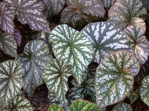 Begonia hybrids