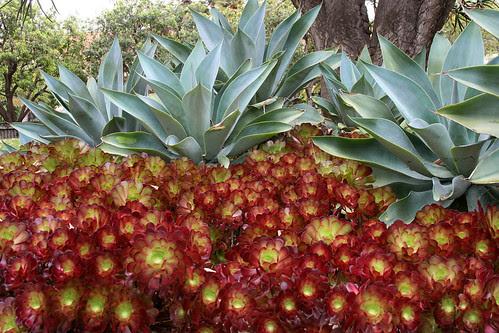 huntington agave aeonium