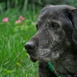Top 10 Signs Your Older Dog is Painful