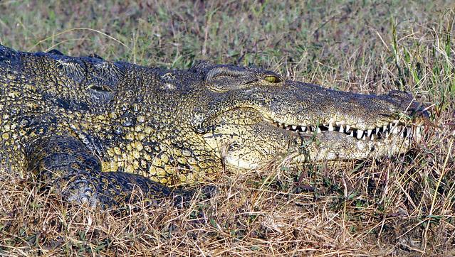DSC09300 Nile Crocodile