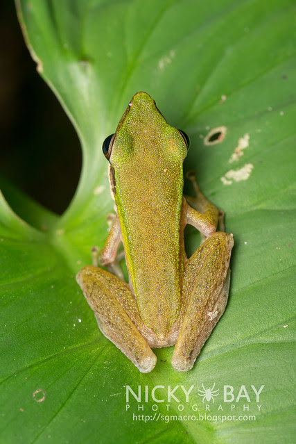 Copper-cheeked Frog (Hydrophylax raniceps) - DSC_2740