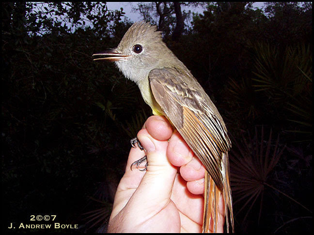 Great-creasted Flycatcher