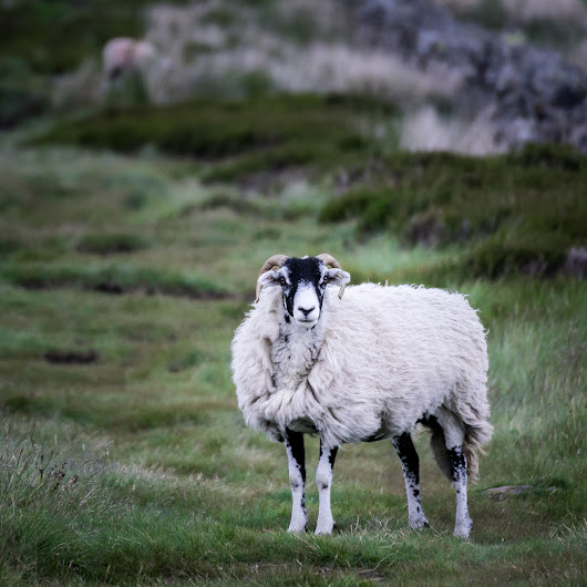 Angry Sheep | Michael Mauderer Photography