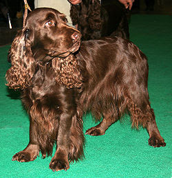 Top Image of Field Spaniel