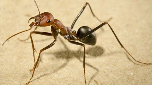 Sun and memories help ants navigate backwards