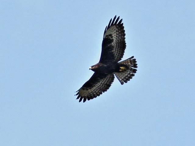 Short-tailed Hawk dark morph 20131023