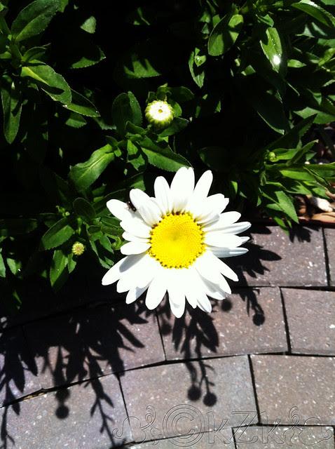 IMG_8828 Daisy