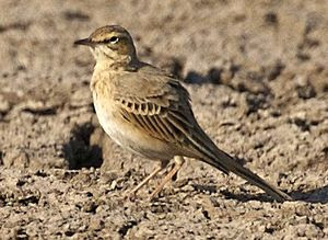 English: Tawny Pipit, 28th November 2006