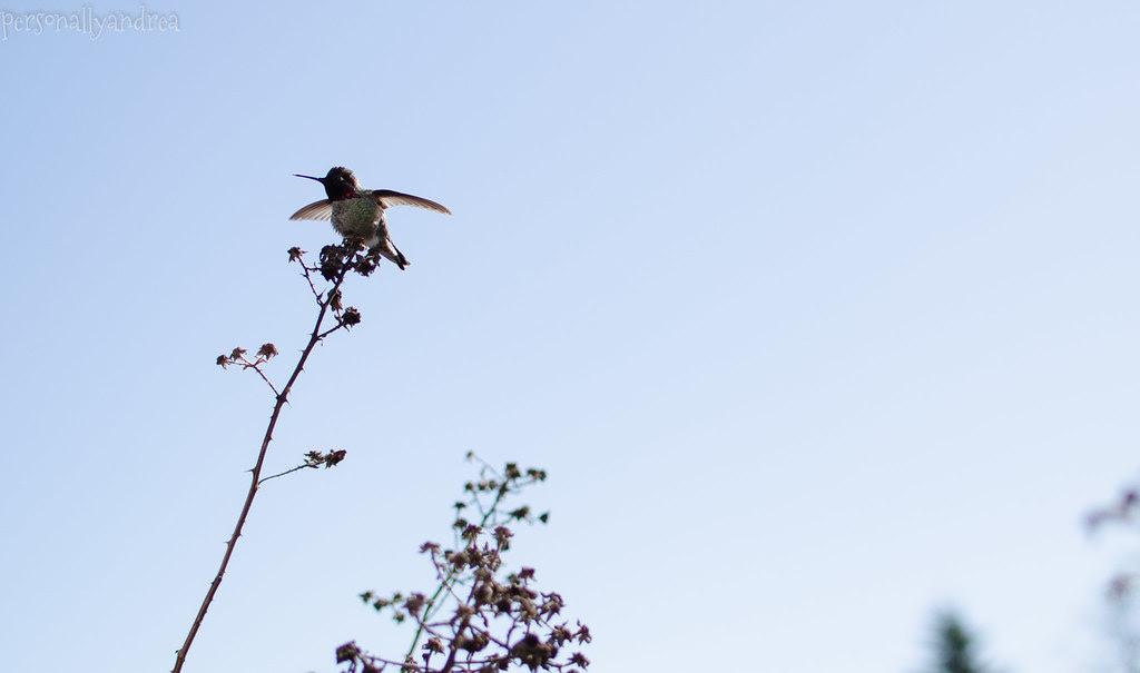 Photo Finish 11   Hummingbird   personallyandrea.com