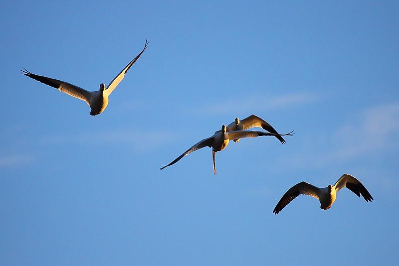 IMG_4283 Snow Geese, Sacramento NWR