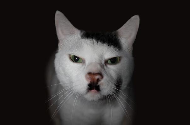 Kitler: Snowball The Cat That Looks Like Hitler