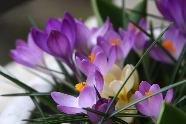 yet more crocuses