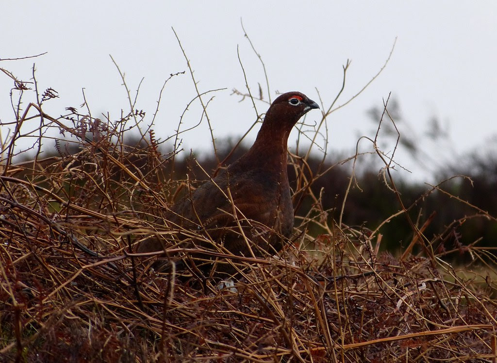 P1060626 - Red Grouse, Ilkley Moor