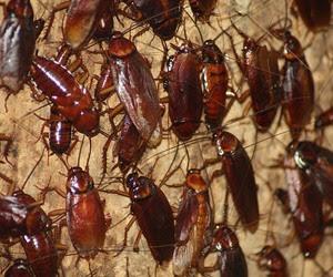 Resultado de imagen para cucarachas grandes