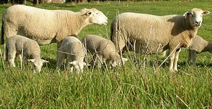 Wiltipoll ewes and lambs.