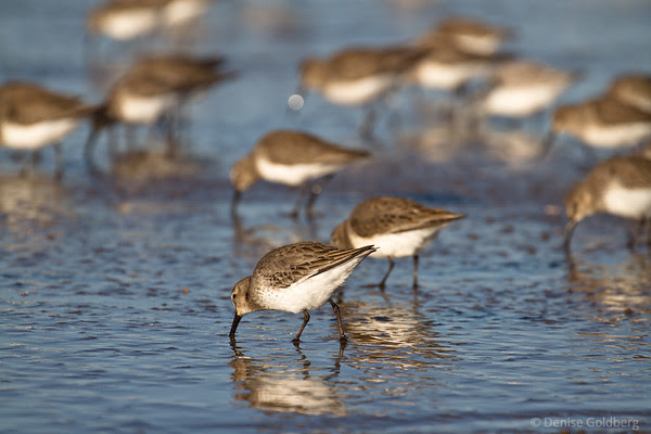 sanderlings at Parker River National Wildlife Refuge
