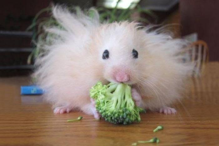 Fluffy Hamster Eating A Brocolli