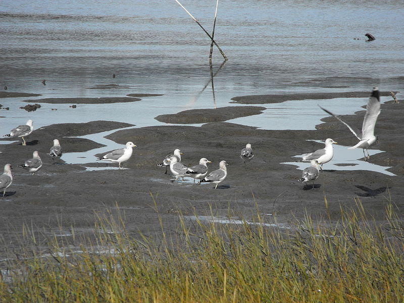 File:California seagulls mill valley water  mud.JPG