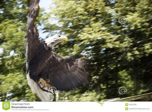 American Eagle Preparing To Attack Stock Photo - Image: 63229189