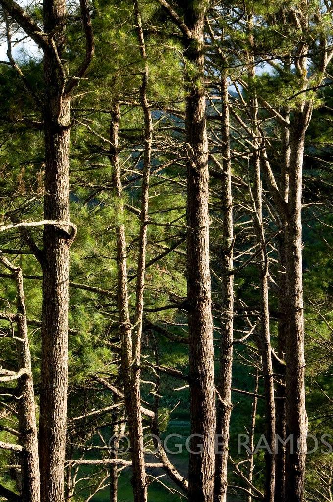 Sagada - Dramatic Pines