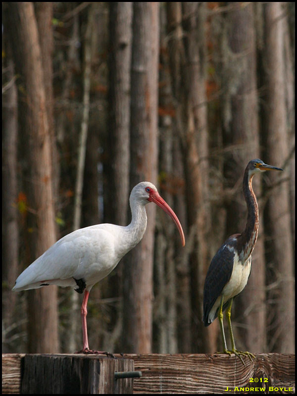 White Ibis and Tricolored Heron