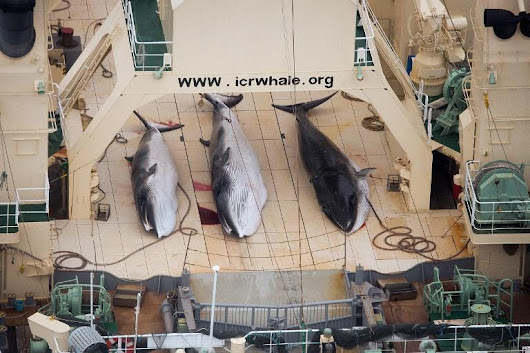 The UN Ban On Japanese Whaling Is Already Having Positive Effects | Business Insider
