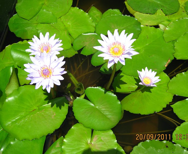 "Lotus at  Kolte-Patil I-Ven ""Special"" Township at Marunje Hinjewadi Pune"