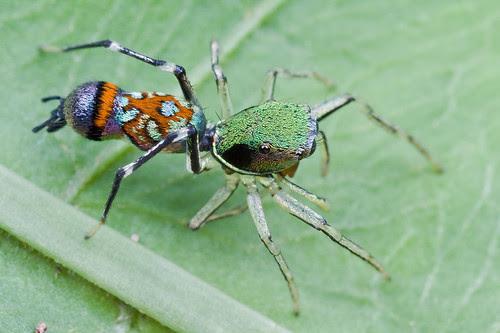 female orsima ichneumon IMG_0001 copy