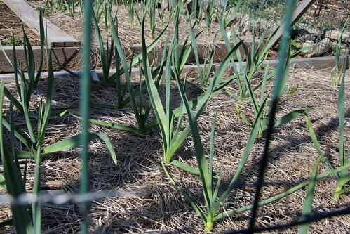 garlic in april 150