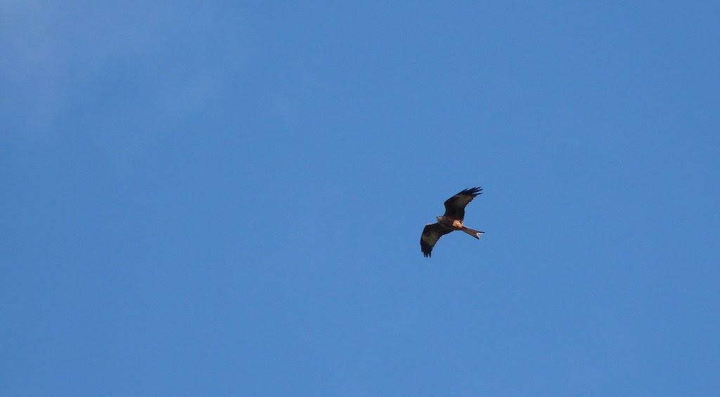 23931 - Red Kite, Pontarddulais