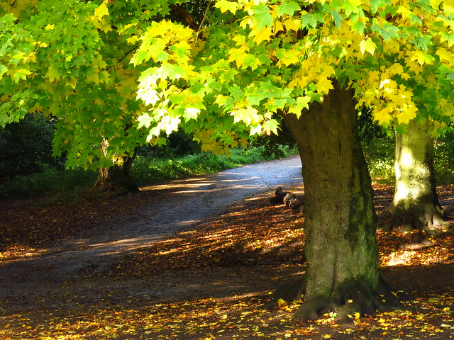 Maple Tree near the Sports Ground