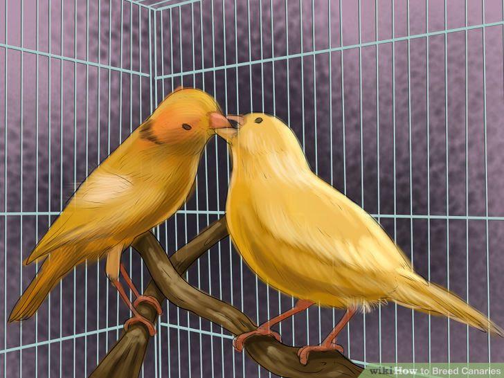 Breed Canaries Step 7 Version 2.jpg
