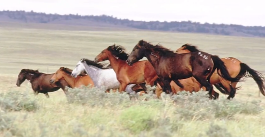 Never before seen footage of the 1500 Mustangs of Mustang Meadows! - Horse and Man