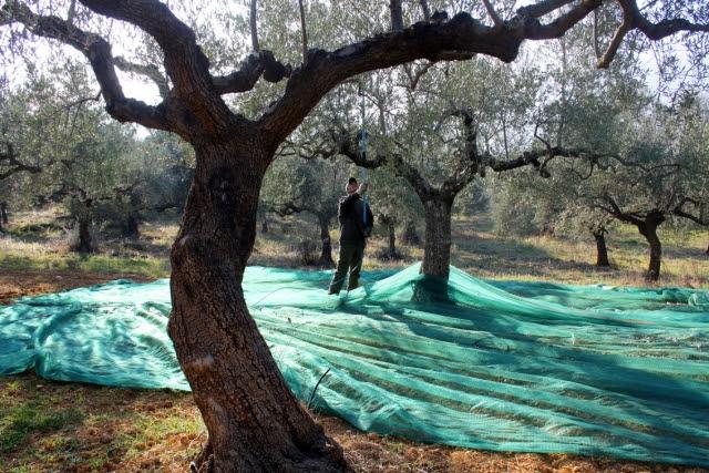 Το μάζεμα της ελιάς... Ένα βίντεο που υμνεί την ελληνική παράδοση