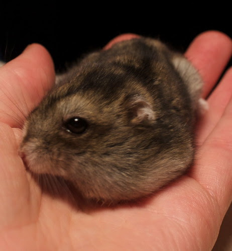 """dwarf hamster"", hamster, ""Winter White dwarf hamster"""