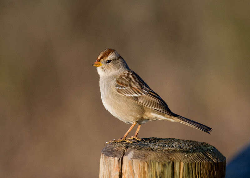 Gambel's White-crowned Sparrow