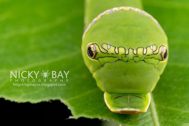 Common Mormon larva (Papilio polytes) - DSC_6515