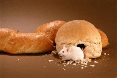 What Kinds of Food Do Rodents Eat? | Animals -