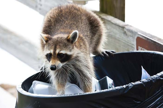 Raccoons in Northeast US: Getting Rid of Raccoons Tips
