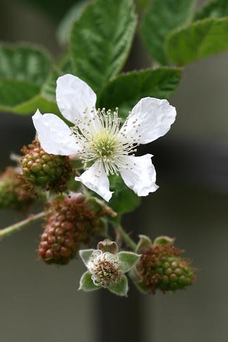marionberry flower