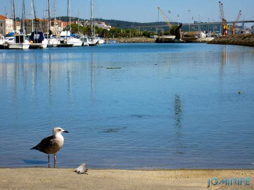 Gaivotas na marina com peixe na Figueira da Foz [en] Gulls in the marina with fish in Figueira da Foz