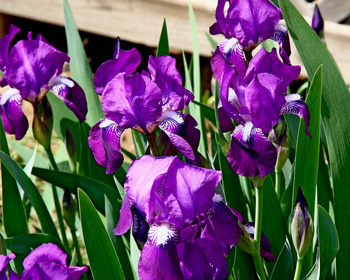 Our iris sure seemed early this year.