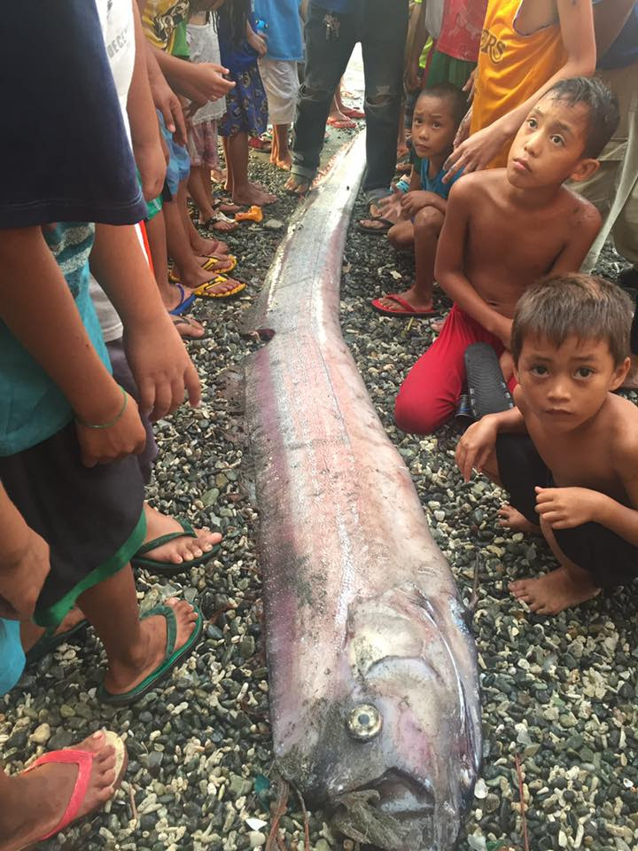 oarfish philippines february 2017, oarfish philippines february 2017pictures, Mysterious oarfish sightings stoke earthquake fears in the Philippines