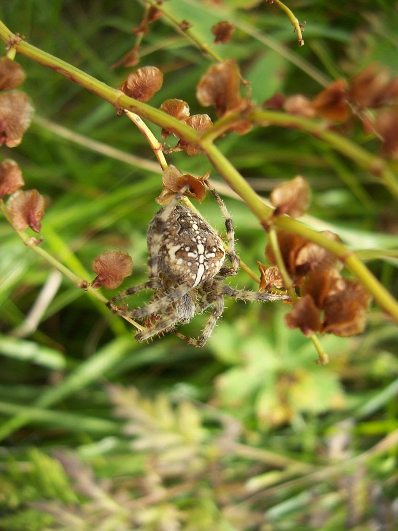 Araignee épeire diadème - araneus diadematus