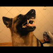 Dog Quickly Bares Teeth on Command
