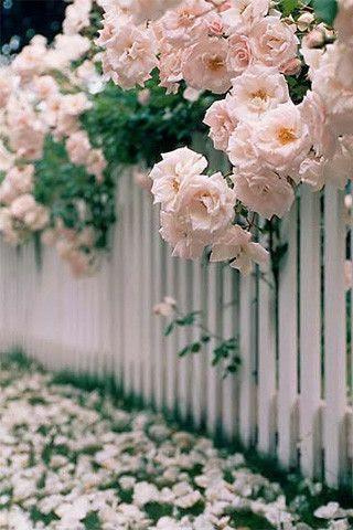 Lovely Roses...White Picket Fence